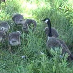 canada-geese_thumbnail.jpg