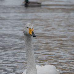 swan-4837034_1920